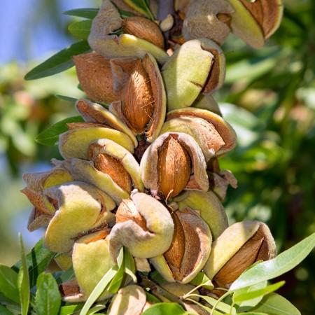 Migdal Record de Teteny - Pomi fructiferi - AgroDenmar.ro