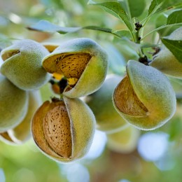 Migdal Texas - Pomi fructiferi - AgroDenmar.ro