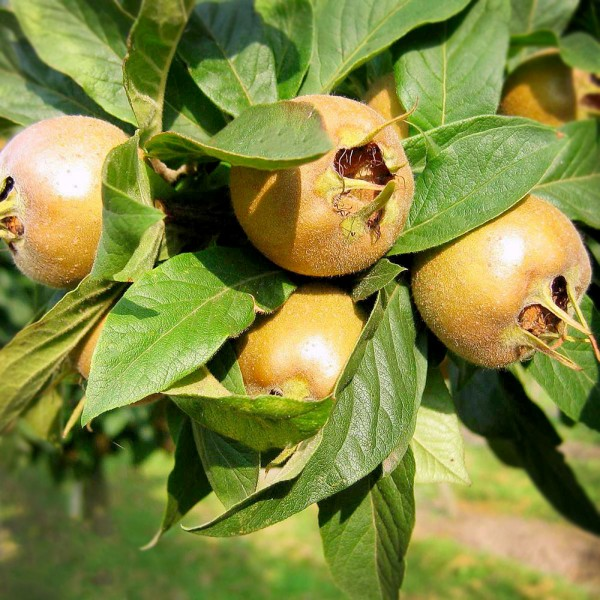 Mosmon (Mespilus germanica) - Pomi fructiferi - AgroDenmar.ro