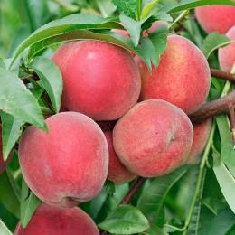 Nectarin Andosa - Pomi fructiferi - AgroDenmar.ro
