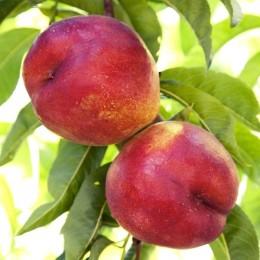 Nectarin Fantasia - Pomi fructiferi - AgroDenmar.ro