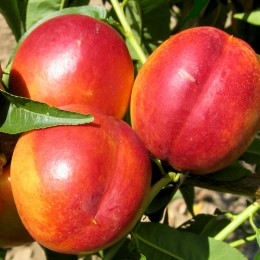 Nectarin Flavortop - Pomi fructiferi - AgroDenmar.ro