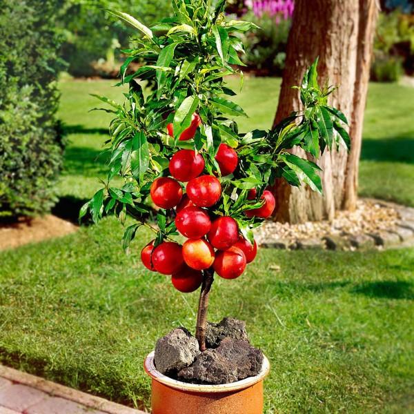 Pomi fructiferi - Nectarin Pitic