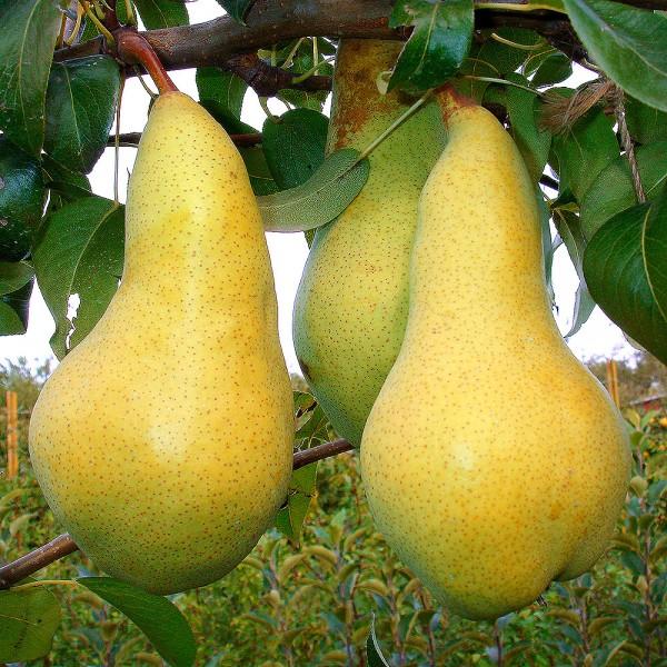 Par Abatele Fetel - Pomi fructiferi - AgroDenmar.ro