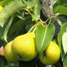 Par Arabitca - Pomi fructiferi - AgroDenmar.ro