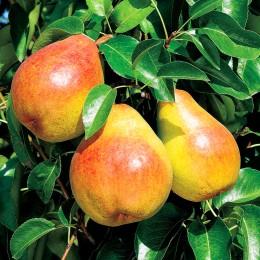 Par Bicolor (galben rosiatic) - Pomi fructiferi - AgroDenmar.ro