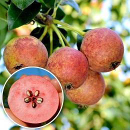Par Busuioace cu miez rosu - Pomi fructiferi - AgroDenmar.ro