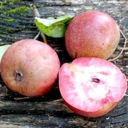 Par Cocomerina - Pomi fructiferi - AgroDenmar.ro