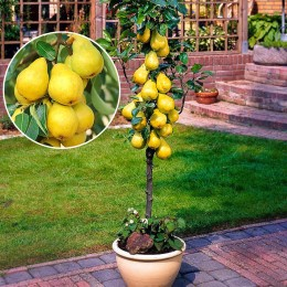 Par columnar  Decora - Pomi fructiferi - AgroDenmar.ro
