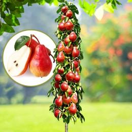Par columnar Starkrimson - Pomi fructiferi - AgroDenmar.ro