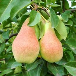 Par Cure - Pomi fructiferi - AgroDenmar.ro