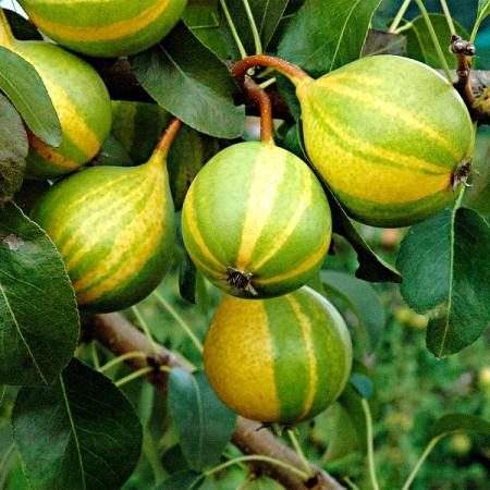Par Dungat Elvetian - Pomi fructiferi - AgroDenmar.ro