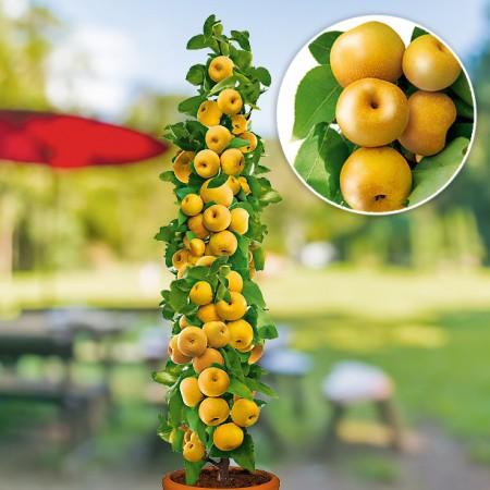 Par japonez columnar Prosecco - Pomi fructiferi - AgroDenmar.ro