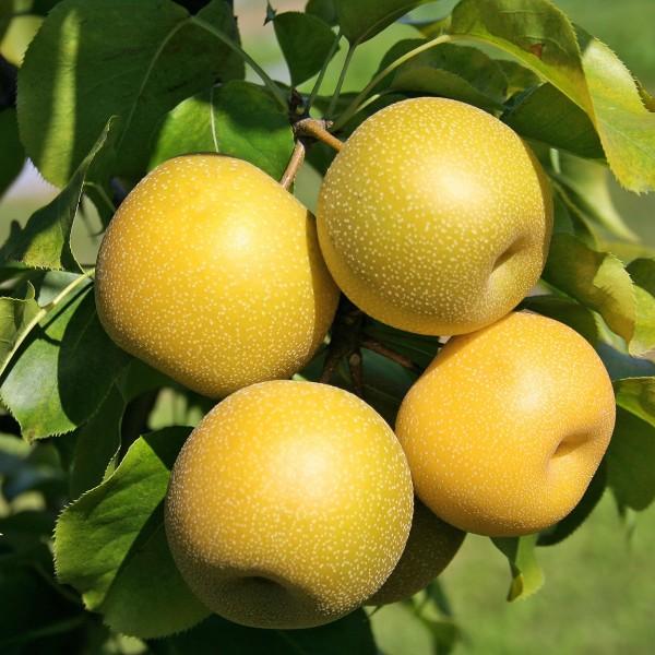 Par Japonez - Nijisseiki - Pomi fructiferi - AgroDenmar.ro