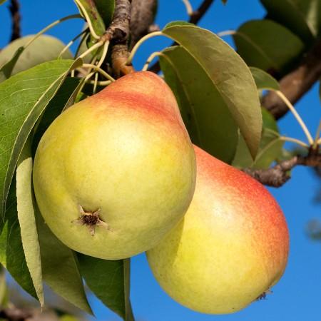 Par Napoca - Pomi fructiferi - AgroDenmar.ro