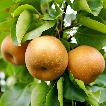 Par Japonez - Nashi Hosui - Pomi fructiferi - AgroDenmar.ro