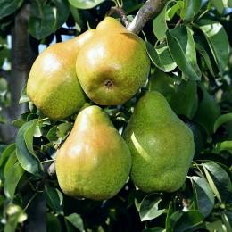 Par Novembra - Pomi fructiferi - AgroDenmar.ro