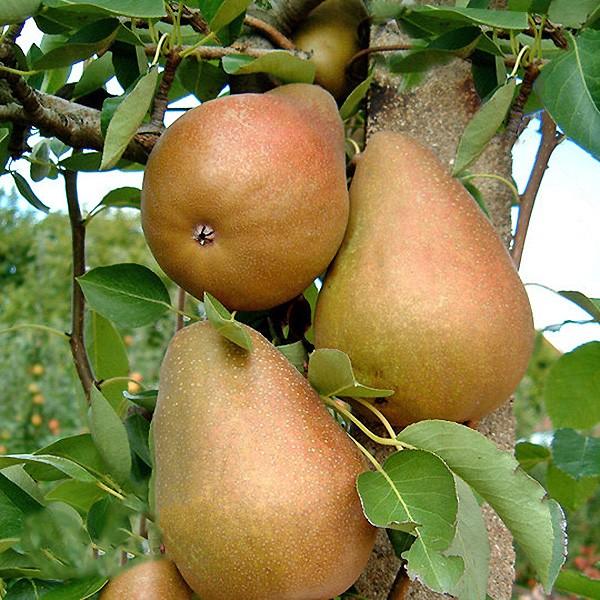 Par Untoasa Hardy - Pomi fructiferi - AgroDenmar.ro