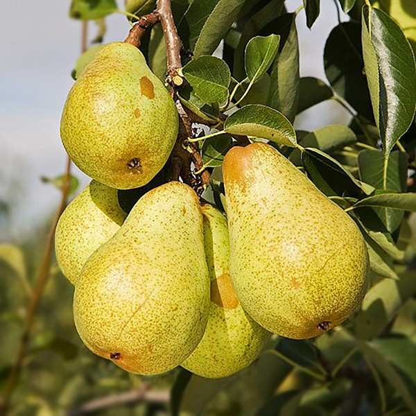 Par Williams alb - Pomi fructiferi - AgroDenmar.ro