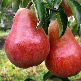 Par Williams rosu - Pomi fructiferi - AgroDenmar.ro
