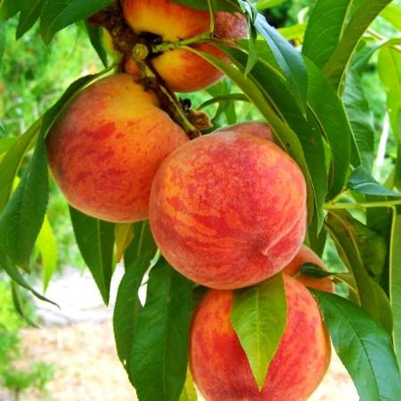 Piersic Baby Gold - Pomi fructiferi - AgroDenmar.ro
