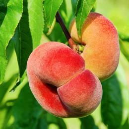 Piersic plat Platicarp - Pomi fructiferi - AgroDenmar.ro