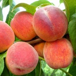 Piersic Redhaven - Pomi fructiferi - AgroDenmar.ro