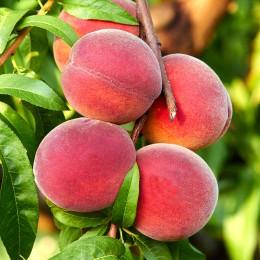 Piersic Springold - Pomi fructiferi - AgroDenmar.ro