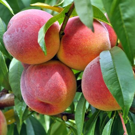 Piersic Suncrest - Pomi fructiferi - AgroDenmar.ro