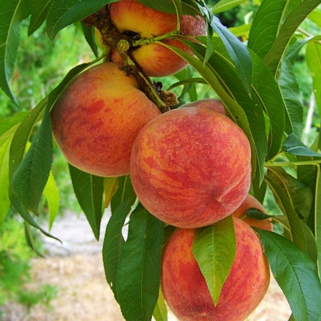 Piersic Superba de toamna - Pomi fructiferi - AgroDenmar.ro