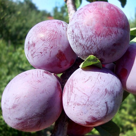 Prun Althan Renclod - Pomi fructiferi - AgroDenmar.ro