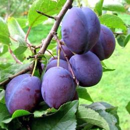 Prun Amers - Pomi fructiferi - AgroDenmar.ro