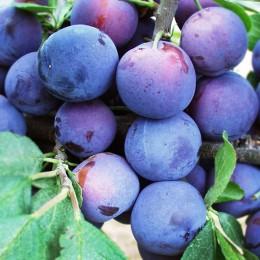 Prun Anna Spath - Pomi fructiferi - AgroDenmar.ro