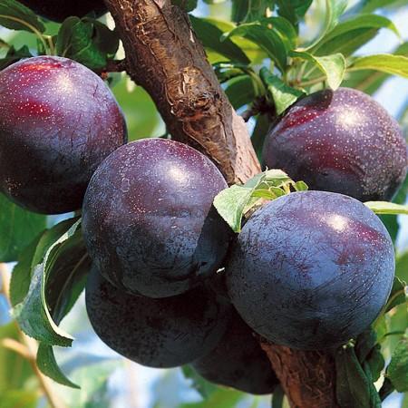 Prun Black Amber - Pomi fructiferi - AgroDenmar.ro