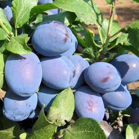 Prun Cacanska Lepotica - Pomi fructiferi - AgroDenmar.ro