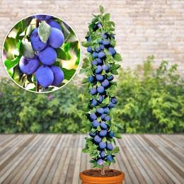 Prun columnar - Pomi fructiferi - AgroDenmar.ro