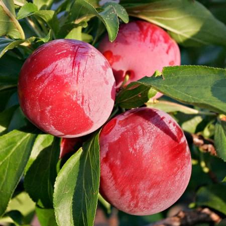 Prun Fortune - Pomi fructiferi - AgroDenmar.ro