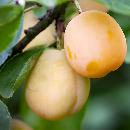Prun Hekman alb - Pomi fructiferi - AgroDenmar.ro