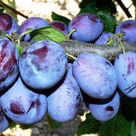 Prun Presenta - Pomi fructiferi - AgroDenmar.ro
