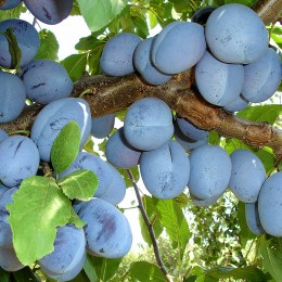 Prun Record - Pomi fructiferi - AgroDenmar.ro