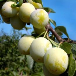 Prun Renclod Verde - Pomi fructiferi - AgroDenmar.ro