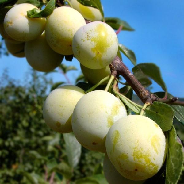 Pomi fructiferi - Prun Renclod Verde