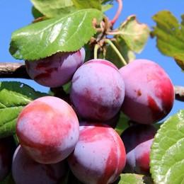 Prun Sermina - Pomi fructiferi - AgroDenmar.ro