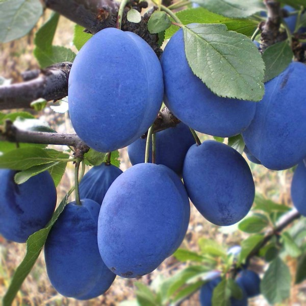 Prun Silvia - Pomi fructiferi - AgroDenmar.ro