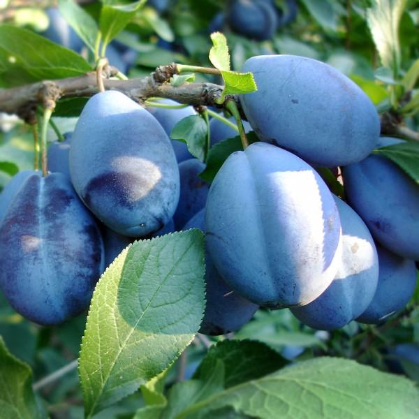 Prun Stanley - Pomi fructiferi - AgroDenmar.ro