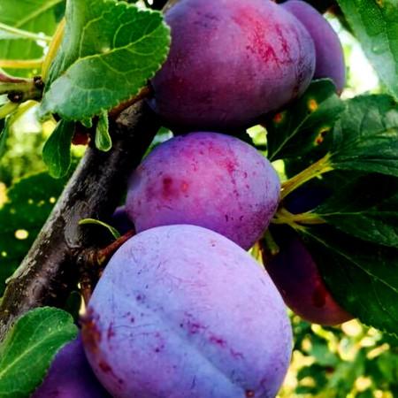 Prun Top Hit - Pomi fructiferi - AgroDenmar.ro