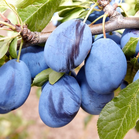 Prun Tuleu Gras - Pomi fructiferi - AgroDenmar.ro