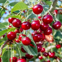 Visin Abundenta de Debretin - Pomi fructiferi - AgroDenmar.ro