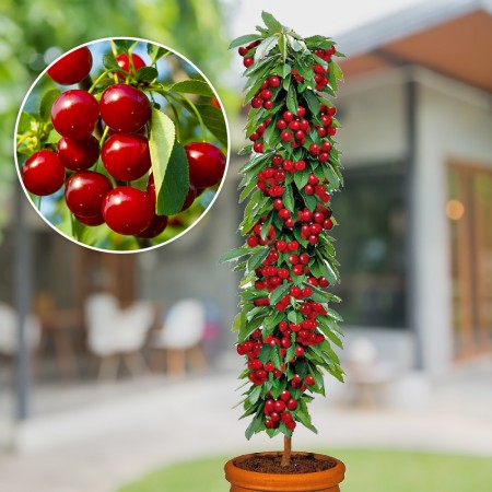 Visin columnar Rubina - Pomi fructiferi - AgroDenmar.ro