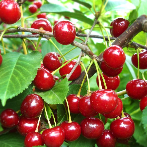 Visin Productiv de Erd - Pomi fructiferi - AgroDenmar.ro
